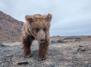 Is there a way to protect a Gobi bear?