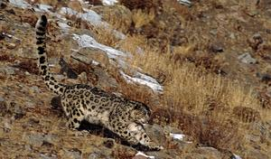 Latest National Park: Landmark for Snow Leopard Protection